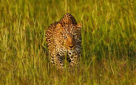 Обои Леопард в траве найти вас