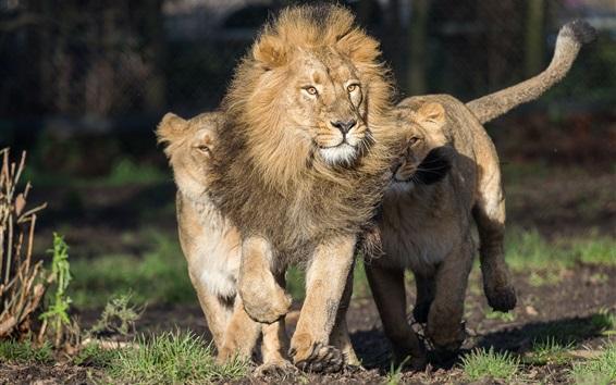 Обои Лев и львица, хищники