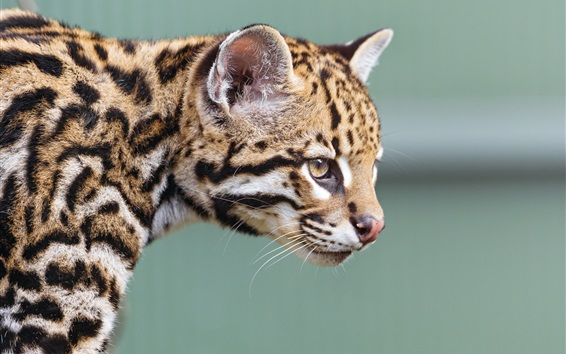 Wallpaper Little jaguar, ocelot, face