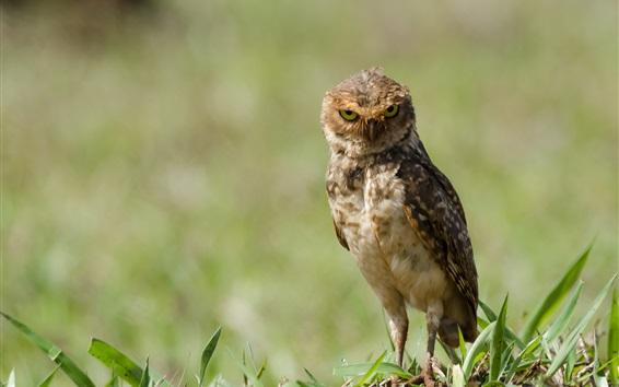 Wallpaper Little owl standing on ground