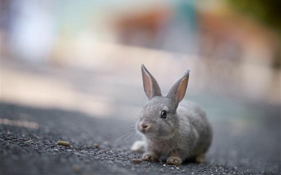 Fondos de pantalla Primer plano de conejo gris precioso