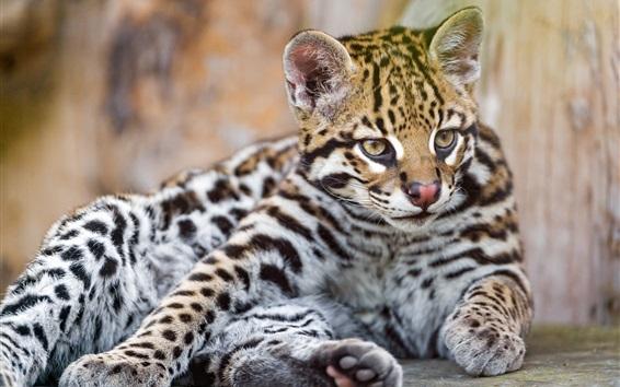 Обои Прекрасный маленький ягуар