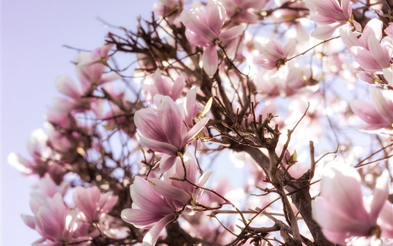 Papéis de Parede Magnólia florescendo, árvore, flores rosa, primavera