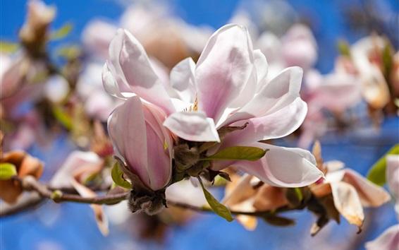 Fondos de pantalla Magnolia, flores blancas, primavera