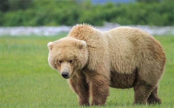 Обои Один бурый медведь в траве