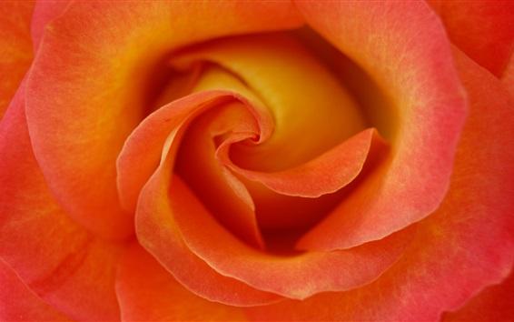 Обои Оранжевые лепестки, розы макросъемки