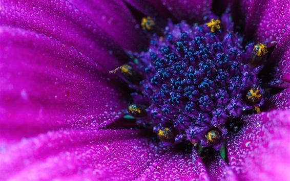 Wallpaper Osteospermum macro photography, pink flower, water drops