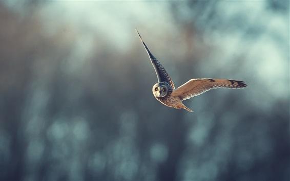 Wallpaper Owl flight, blurry background
