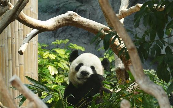 Papéis de Parede Panda comer bambu, folhas verdes, jardim zoológico