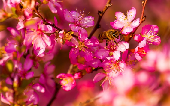 Wallpaper Pink cherry flowers, insect, bee, spring