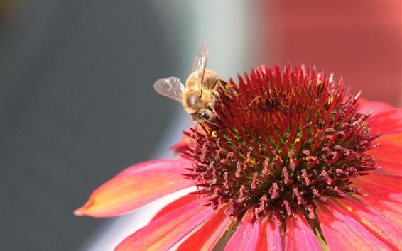 배경 화면 핑크 에키 네시아 꽃, 꿀벌 수분