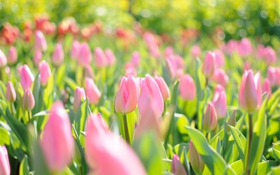Papéis de Parede Rosa, flores, campo, tulips, nascente