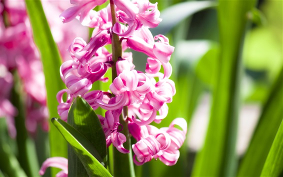 Wallpaper Pink hyacinth flowering, spring