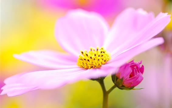 Wallpaper Pink kosmeya, petals, pollen, flowers photography