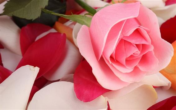 Fond d'écran Rose, rose, gros plan, fleurs, pétales