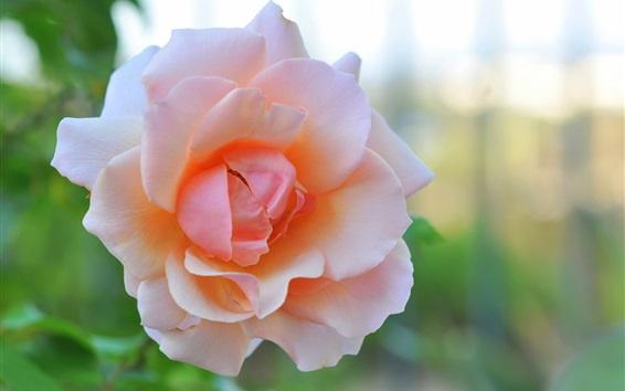 Wallpaper Pink rose flower macro photography, glare