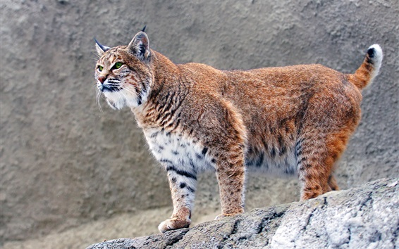 Wallpaper Predator, lynx, stones