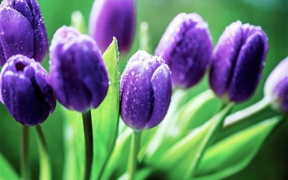 Wallpaper Purple tulips, dew, leaves