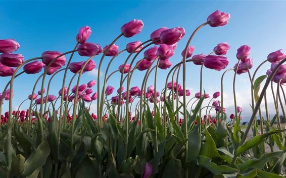 Wallpaper Purple tulips field