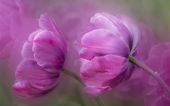 Wallpaper Purple tulips macro photography, petals