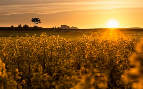 Wallpaper Rape field, sunset, glare