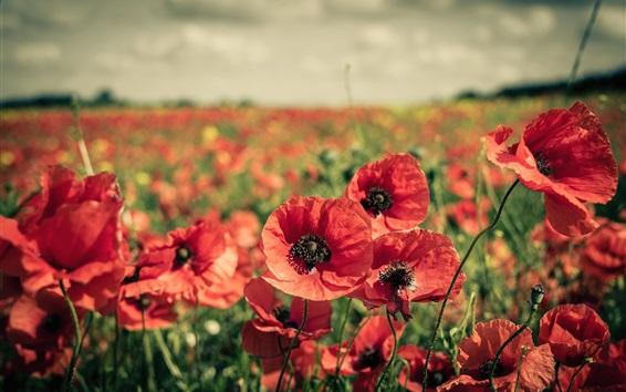 Papéis de Parede Vermelho, flores, campos, papoula