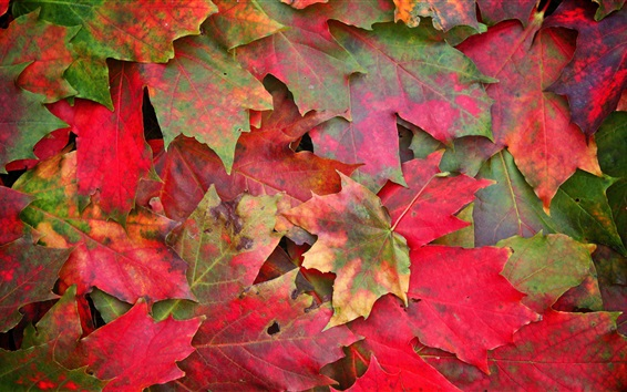 Wallpaper Red maple leaves, ground, autumn