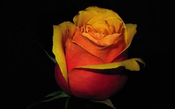 壁紙 赤いオレンジの花びらは、暗闇の中で花を咲かせた