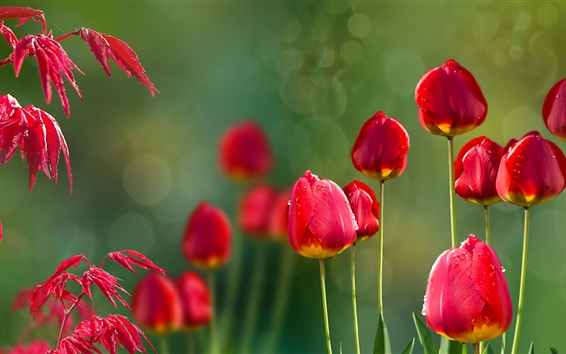Обои Красные тюльпаны и красные листья, роса