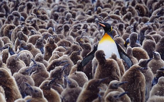 Wallpaper Royal penguins, kindergarten