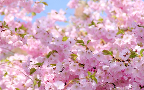 Wallpaper Sakura, pink flowers, spring, flowering