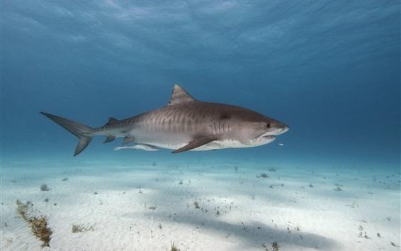 Wallpaper Sea animals, shark, underwater