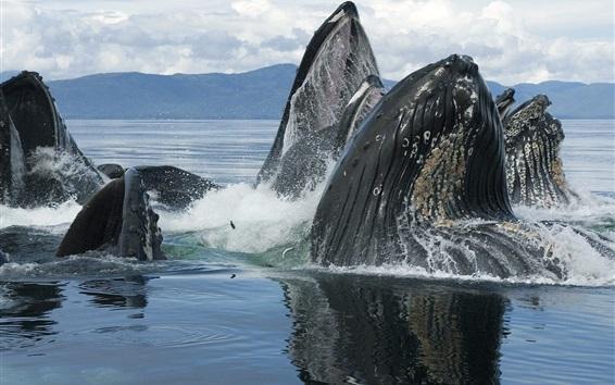 Papéis de Parede Animais marinhos, baleias fora da água