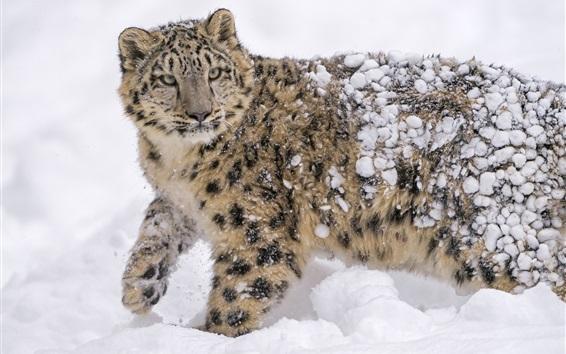 Papéis de Parede Leopardo de neve, predador, inverno, neve espessa