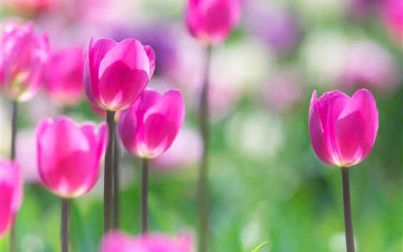 Wallpaper Spring flowers, pink tulips, blurry background