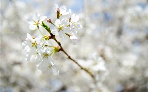 Wallpaper Spring, white flowers bloom, twigs