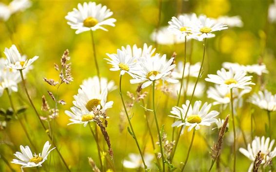 Wallpaper Summer flowers, white chamomile, grass