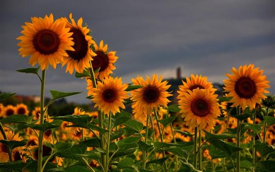 Wallpaper Sunflowers field, summer, dusk