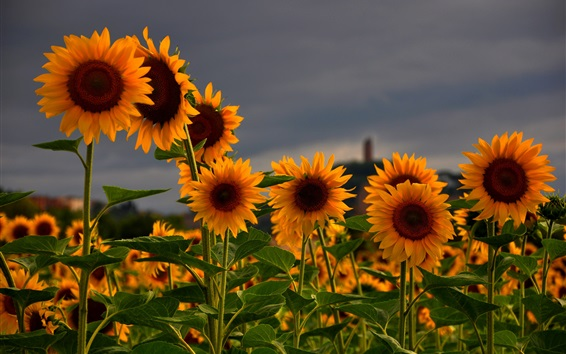 Обои поля Подсолнухи, лето, закат