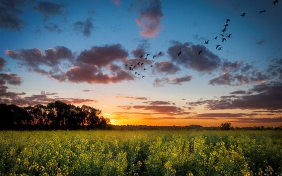 Fond d'écran Coucher de soleil, champ de colza, arbres, ciel, nuages, oiseaux