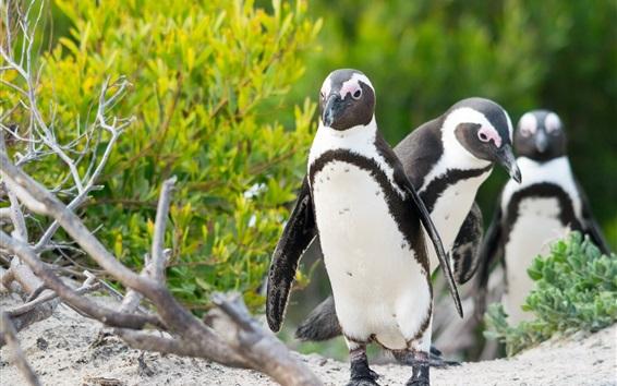 Papéis de Parede Três pássaros, pinguins, arbustos