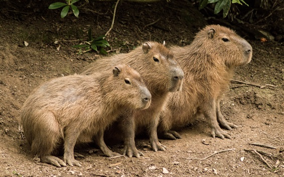 Wallpaper Three cute capybaras