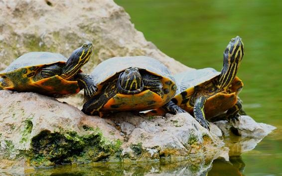 배경 화면 3 마리의 거북이, 돌, 물