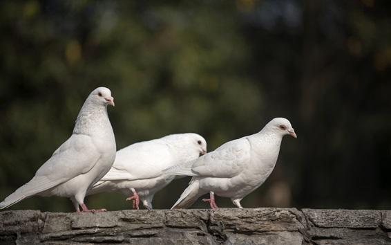 壁紙 3つの白い鳩