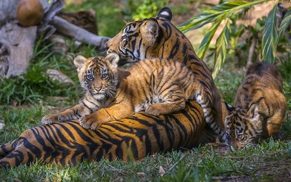 Обои Тигр семьи, тигрята, материнство