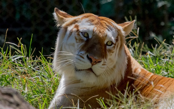Wallpaper Tiger lying in the grass, face, yellow eyes, look