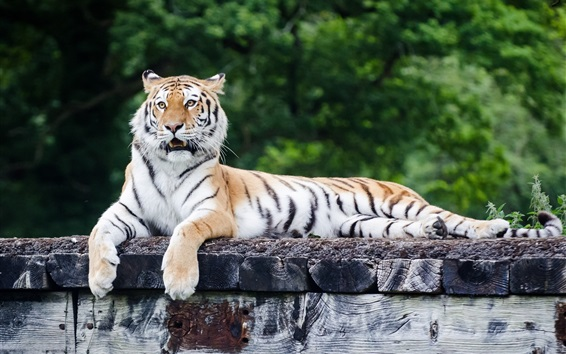 Wallpaper Tiger rest, predator, paws