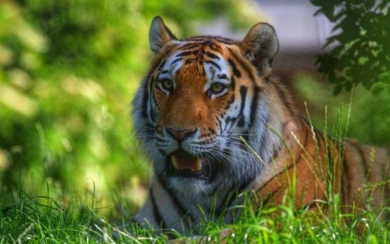 Обои Тигр остаться в траве, лицом