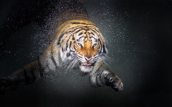 Wallpaper Tiger swim, face, water droplets