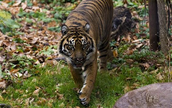 Papéis de Parede Tiger caminhada, predador, rosto, grama